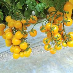 Very sweet 1 - cherry tomatoes are highly crack resistant. This multi cluster type produces heavy yields of bright yellow flavorful fruits. Plants can be gr Cherry Tomato Plant, Tomato Vine, Tomato Garden, Cherry Tomatoes, Yellow Tomatoes, Tips For Growing Tomatoes, Growing Tomato Plants, Growing Tomatoes In Containers, Grow Tomatoes
