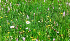 Alys Fowler: flowering lawns The Guardian Blue And Purple Flowers, Summer Flowers, Bee Friendly Flowers, British Bees, Going Natural, Lawn Care, Geraniums, Lawn And Garden, The Guardian