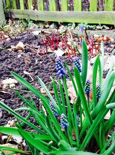 Spring in #Berlin #Weissensee! Man nennt sie Traubenhyazinthen. Berlin, Urban Gardening, Plants, Planters, Apartment Gardening, Plant, Planting, Urban Homesteading