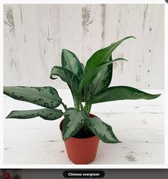 * Chinese evergreen. £11.99. Pot size: 12cm. Current H: 25cm. Max H: 35cm. This easy-going houseplant has highly pattered sword-shaped foliage, which will help liven up a spot away from direct sunlight. As the name suggests, this is a relatively compact plant that is quite slow growing, so it does not need repotting very often and will look best placed on a sideboard or coffee table.