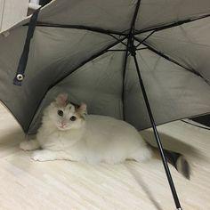 暑いですね〜😵☀️ これから梅雨に入り、本格的な夏が来ますね。 今年は就活だから遊べない!って思ってたけど、進路を変更! ということで、勉強づくしの夏になるかと…🤔 姫ちゃん、暑くて日傘の中へ。笑 姫ちゃん! ここはお家の中だから日傘必要ないよ?? #アメリカンカール#ふわもこ部#ふわもこ部猫#親ばか #みんなのねこ部#ふわふわ#ねこぐらむ #にゃんすたぐらむ #ねこすたぐらむ #ねこまみれ#みんねこ#国境なき猫の輪団 #猫#ねこ#ネコ#にゃんこ#動物 #愛猫#愛猫家 #love#americancurl #cat#cute#family#instagood #instacats #instagram #cutegirl