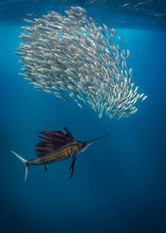 sealife fashion Sailfish hunting - Nature, wildlife, underwater photography by Adriana Basques Under The Water, Underwater Images, Underwater Life, Underwater Creatures, Ocean Creatures, Underwater Animals, Underwater Photography, Wildlife Photography, Animal Photography
