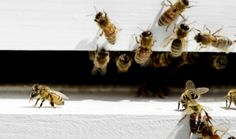 USDA Invests $3 Million Into Program To Boost Honeybee Numbers BY KATIE VALENTINE	ON FEBRUARY 26, 2014 AT 9:28 AM