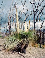 Flowering Xanthorrhoea (ccdoh1) Tags: 120 film analog mediumformat nationalpark kodak australia victoria 100 6x7 smc grasstree bushfire kinglake ektar pentax67 xanthorrhoea 55mmf4 blacksaturday mtbeggary everardblock