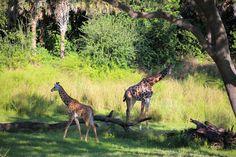 Giraffes (look at the baby!!) At the Kilamajaro Safari