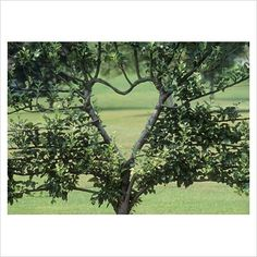 Espalier...training a tree to grow in a decorative shape. The French have taken it to an artistic level. This is the first time I've seen a tree pruned, groomed and magnificently coaxed into a heart shape!