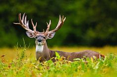 Deer Hunting: 3 Steps For Tagging a Monster Early-Season Buck Big Game Hunting, Hunting Camo, Deer Pictures, Animal Pictures, Deer Pics, Big Whitetail Bucks, Animals With Horns, Big Deer, Bull Moose