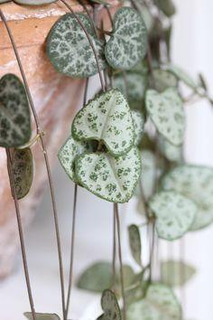 String of hearts plant, aka rosary vine, entangled heart vine, Ceropegia Woodii