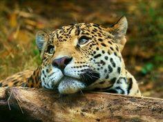 Spotted Leopard / Jaguar ツ ♥