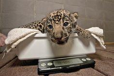 Детеныш ягуара