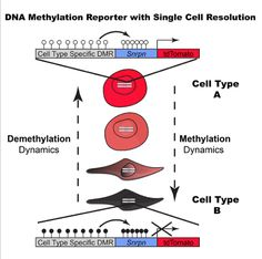 Now, Whitehead Institute researchers have developed a methodology to monitor changes in DNA methylation in real-time in single cells.  The team state that their tool will allow the global medical community to look in a very detailed way at issues like imprinting during development and screening for the activation of genes silenced in diseases like cancer, highlighting which drug will activate a given gene.  The opensource study is published in the journal Cell.