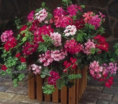 """Gardening Container Geranium Care: How To Grow And Care For Geranium Plants - - Geranium care - The plant most of us know as a """"geranium"""" is actually a Pelargonium. Quite attractive and useful, it is not a true geranium. Container Flowers, Flower Planters, Container Plants, Flower Pots, Evergreen Container, Succulent Containers, Fall Planters, Geraniums Garden, Ivy Geraniums"""
