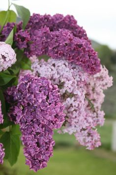 The pure beauty of lilacs and the colors are just exquisite. I once had them on a pergola outside my bedroom french doors. The looked so pretty in the summer.