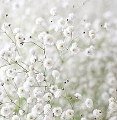 Little White Flowers ~ Baby's Breath (Gypsophila) . My Flower, Beautiful Flowers, Tiny White Flowers, Anemone Flower, Gypsophila Flower, Beautiful Babies, Bouquet, Deco Floral, White Gardens