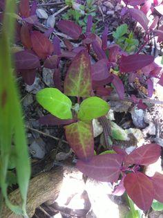 atriplex hortensis, rossa ibridata con verde