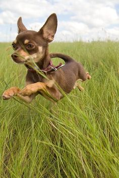 Chihuahuas are excellent pets, but a dog owner must bear in mind that the Chihuahua lifespan is shorter compared to human lifespan. That said it is important that the owner to make sure that his/her Chihuahua has a long and happy life. Chihuahua Love, Chihuahua Puppies, Cute Puppies, Cute Dogs, Brown Chihuahua, Baby Animals, Funny Animals, Cute Animals, Small Animals