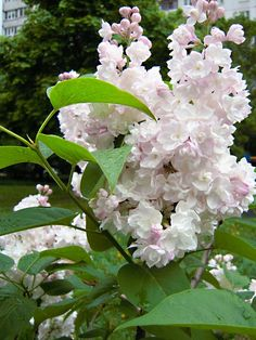 Lilac Flowers, Blooming Flowers, Pretty Flowers, Lilac Painting, Syringa Vulgaris, Lilac Bushes, Sitting In A Tree, Real Plants, Belleza Natural