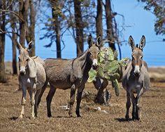 """""""*Waikoloa Nightingales* (also called 'Wild Donkeys') on the island of *Mauna Loa, Big Island, Hawaii*""""  [Photo by Bill Adams - June 30 2007  Waimea, Hawaii, US]'h4d'120922"""