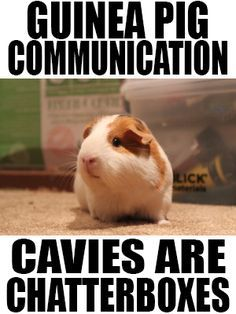 Guinea Pig Communication: cavies are chatterboxes! Listen up!