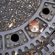 This tiny squirrel was stuck in the manhole but was saved later on. | Photography by ©Hanover Police Germany