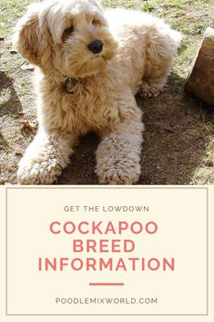 Learn all about the Cockapoo Poodle Mix Breed