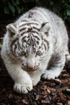 ilaurens:  White tiger cub - By: (Jean-Claude Sch.)