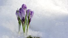 white flowers in snow Spring Flowers, White Flowers, Spring Is Here, Glass Vase, Royalty, Snow, Blossoms, Painting, Image