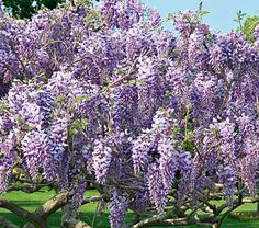 Tree Wisteria Caroline-Standard Form
