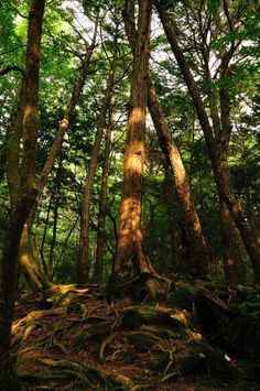 Aokigahara Jukai Forest - Sea of Trees - Suicide Forest Of Japan