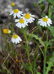 Matricaria chamomilla (synonym: Matricaria recutita), commonly known as chamomile (also spelled camomile), German chamomile,[3] Hungarian chamomile (kamilla), wild chamomile or scented mayweed,[4][5] is an annual plant of the composite family Asteraceae.