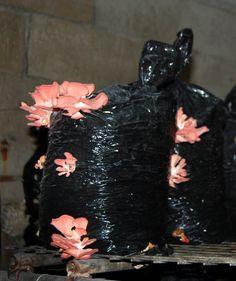 70 Pink oyster mushrooms growing in bags