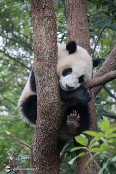 china-chengdu005 Siberian Tiger, Bengal Tiger, Wildlife Photography, Animal Photography, Cute Baby Animals, Wild Animals, White Lions, White Tigers, Tiger Cubs