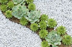 A rock garden filled with various Echeveria and Sempervivum succulents | #droughtscaping