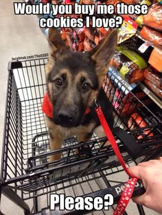 LOL please? #gsd #puppy
