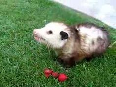 Mary Cummins, Animal Advocates, Opossum eating strawberries... (I LOVE OPOSSUMS THEY ARE THE ABSOLUTE SWEETEST CREATURES EVAR)