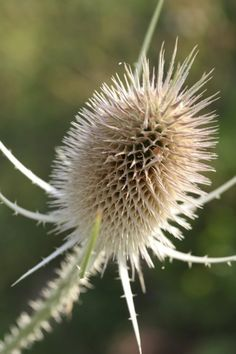 What is common teasel? An exotic plant native to Europe, common teasel was introduced to North America by the earliest settlers. It has escaped cultivation and this article has information on controlling the plant. Love Garden, Shade Garden, Holly Plant, Brick Patterns Patio, Evergreen Vines, Magic Garden, Sea Holly, Vegetable Garden Design, Weed Control