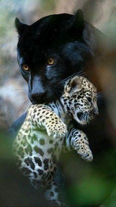 black panther & cub