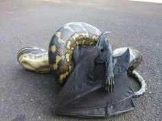 Pythons Eating A Flying Fox | These 30 Pictures Will Show You Why Australia Is Crazy