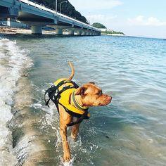 💙 #pit#pitbull#dog#doggy#love#lovedog#doglife#funtimes#goodday#seaside#ピットブル#アメリカンピットブルテリア#ワンコ#愛犬#家族#海#多頭飼い
