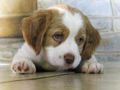 Brittany Spaniel Pup - Why is my head soooo. Cute Puppies, Cute Dogs, Dogs And Puppies, Doggies, Dogs 101, Brittany Spaniel Puppies, Baby Animals, Cute Animals, Funny Animals