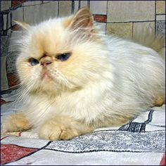 Flame-Point Himalayan - She was my best cat ever. I miss her so much!