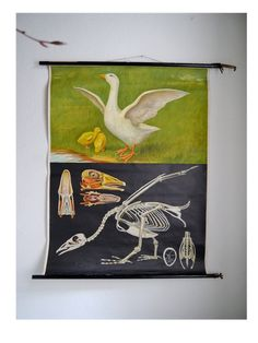Vintage Pull down chart School chart 'Goose' Anatomy animal Mid Centuy German XL poster Shabby Chic Farmhouse Cottage / EXPRESS shipping USA by Berlinattic on Etsy