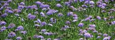 scabiosa columbaria - Google Search Cut Flowers, Wild Flowers, Scabiosa Columbaria, Kwazulu Natal, Herbaceous Perennials, Boxing Day, Container Plants, Evergreen, Green And Grey