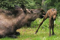 State biologist Ed Reed says moose population boom hasn't happened yet - Daily News