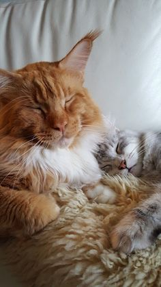 Tabby Cats Facts - When it comes to Maine Coon Vs Norwegian Forest Cat both can make good pets but have some traits and characteristics that are different from each other Kittens And Puppies, Cats And Kittens, Tabby Cats, Pretty Cats, Beautiful Cats, Manecoon Cat, Caracal Cat, Maine Coon Kittens, Dog Facts