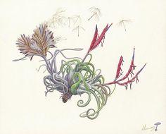 Tillansia caput medusae