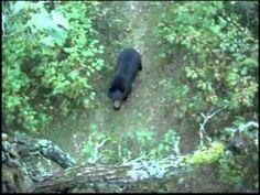 Bear Climbs Tree Stand