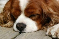I'm a total sucker for Spaniels, and the Cavalier King Charles just might be my favourite. . .
