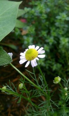 My Life's Journey — Your Daily Herb    Chamomile (Matricaria...