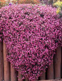 Kivikkosuopayrtti Creeping Phlox, Container Flowers, My Secret Garden, Dream Garden, Container Gardening, Landscape, Spring, Plants, Nom Nom